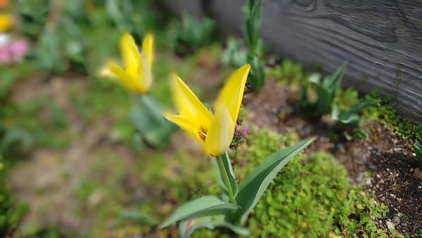 春……チューリップ咲き始めたよ。