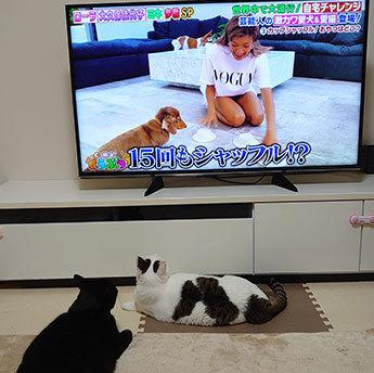 テレビ見る猫