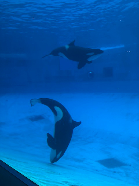 シャチ が いる 水族館