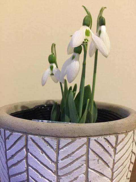 スノードロップの花のメッセージ
