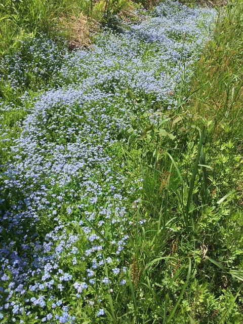 勿忘草の花からのメッセ-ジ